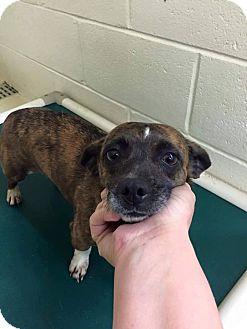 Chihuahua Mix Dog for adoption in Newburgh, Indiana - Hula