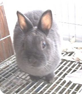 Netherland Dwarf for adoption in Libertyville, Illinois - George