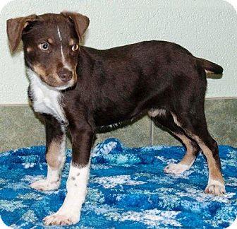 Labrador Retriever/Australian Shepherd Mix Puppy for adoption in Ada, Oklahoma - BULLET