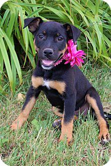 Labrador Retriever/Boxer Mix Puppy for adoption in Minot, North Dakota - Lamby