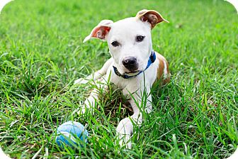 Pit Bull Terrier/Labrador Retriever Mix Puppy for adoption in Monroe, North Carolina - Stanley