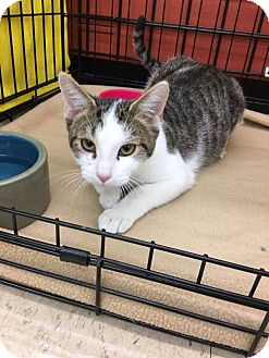 Domestic Shorthair Cat for adoption in Frankfort, Illinois - Raiko