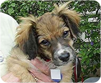 Terrier (Unknown Type, Small)/Spaniel (Unknown Type) Mix Puppy for adoption in Vista, California - Lilly