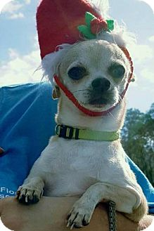 Chihuahua Mix Dog for adoption in Blountstown, Florida - Paco