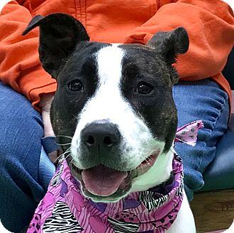 Bull Terrier Mix Dog for adoption in Evansville, Indiana - Linda