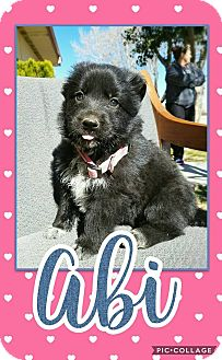 German Shepherd Dog/Labrador Retriever Mix Puppy for adoption in Edwards AFB, California - Abi