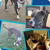 Adopt A Pet :: Chillie - Scottsdale, AZ