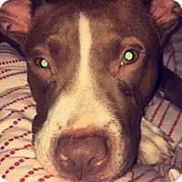 Adopt A Pet :: Sailor - Allentown, NJ