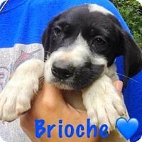 Adopt A Pet :: Brioche - Boca Raton, FL
