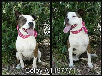 Pit Bull Terrier Dog for adoption in San Pedro, California - COLBY