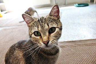 Domestic Shorthair Cat for adoption in Denver, Colorado - Saber Alamosa