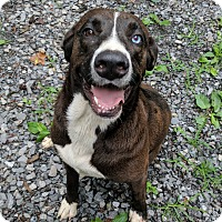 Labrador Retriever/Catahoula Leopard Dog Mix Dog for adoption in Albany, New York - Houlie
