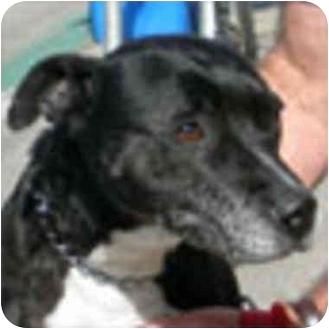American Pit Bull Terrier Mix Dog for adoption in Berkeley, California - Kita