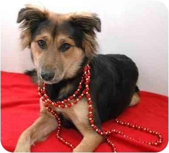 Border Collie Mix Dog for adoption in Westfield, New York - Shandee