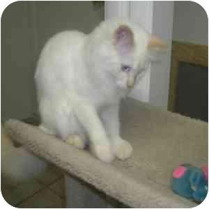 Himalayan Cat for adoption in Phoenix, Arizona - Phoenix