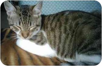 Domestic Shorthair Cat for adoption in Little Falls, New Jersey - Carmela (SO)