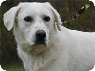 Labrador Retriever/Great Pyrenees Mix Dog for adoption in St. James, Missouri - Sandy