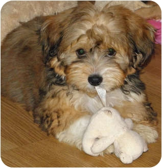 Yorkie, Yorkshire Terrier/Shih Tzu Mix Puppy for adoption in Amelia  Island/Clearwater/Jacksonville, Florida - Carolena