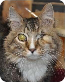 Maine Coon Cat for adoption in Atlanta, Georgia - Bart