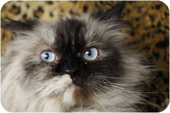 Himalayan Cat for adoption in Columbus, Ohio - Twinkle