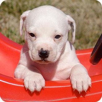 American Bulldog Mix Puppy for adoption in Greensboro, North Carolina - Kanga