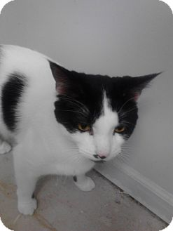 Domestic Shorthair Cat for adoption in Sterling Hgts, Michigan - Thor