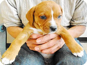 Boxer Mix Puppy for adoption in San Diego, California - Samantha
