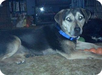 Shepherd (Unknown Type) Mix Puppy for adoption in Hastings, New York - Poppy