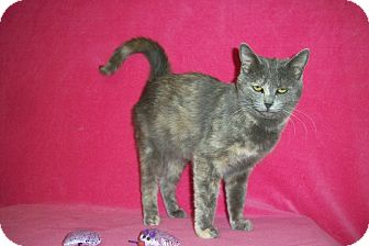 Domestic Shorthair Cat for adoption in McIntosh, New Mexico - Deja Blue