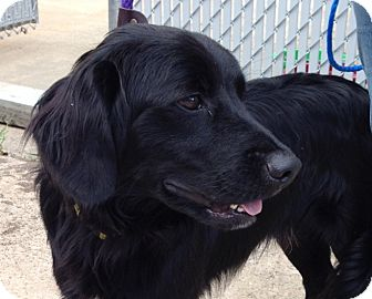 Flat Coated Retriever Cross Handsome | Adopted Dog...