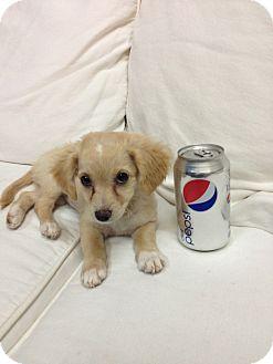 Cocker Spaniel Mix Puppy for adoption in Thousand Oaks, California - Pebbles