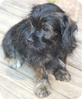 Terrier (Unknown Type, Small) Mix Puppy for adoption in Norwalk, Connecticut - Audrey