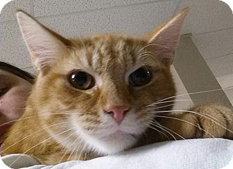 Domestic Shorthair Kitten for adoption in Struthers, Ohio - Cooper