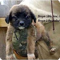 Adopt A Pet :: Brogan - New Boston, NH