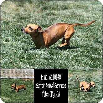 Dachshund Mix Dog for adoption in Yuba City, California - 04/15 Unnamed