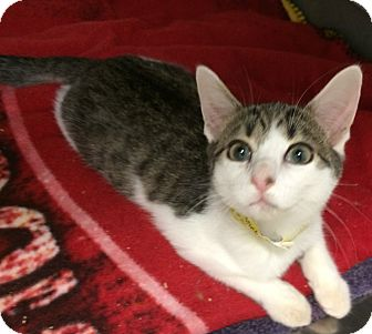 Domestic Shorthair Kitten for adoption in Fairfax, Virginia - Mickey