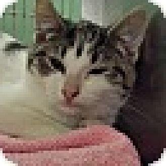Domestic Shorthair Kitten for adoption in Richboro, Pennsylvania - Michael Kors
