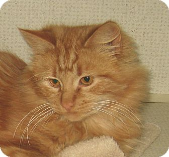 Domestic Shorthair Cat for adoption in Hamilton, New Jersey - TOBY - 2014