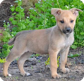 German Shepherd Dog Mix Puppy for adoption in Cincinnati, Ohio - Tahoe