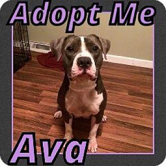 Pit Bull Terrier Mix Dog for adoption in Cheney, Kansas - Ava