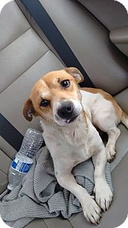 Jack Russell Terrier/Terrier (Unknown Type, Medium) Mix Dog for adoption in Las Vegas, Nevada - Harvey