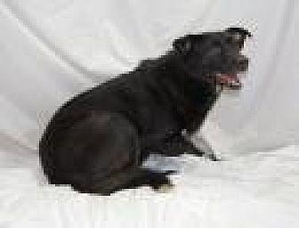 Labrador Retriever/Collie Mix Dog for adoption in Jackson, Mississippi - Spartan