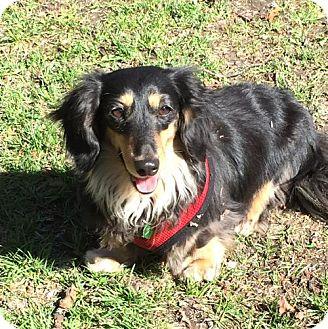 Dachshund Dog for adoption in Toronto, Ontario - Benny