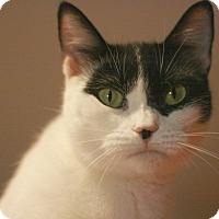 Domestic Shorthair Cat for adoption in Canoga Park, California - Stuffins