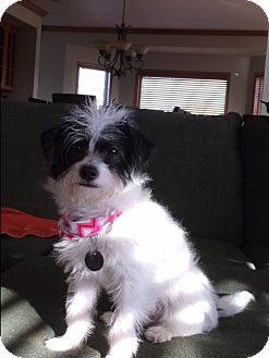 Yorkie, Yorkshire Terrier/Norfolk Terrier Mix Dog for adoption in Jackson, Idaho - Baxter