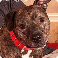 American Staffordshire Terrier Dog for adoption in Nashville, Tennessee - Lily