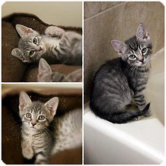 Domestic Shorthair Kitten for adoption in Hazlet, New Jersey - Tiny Tabbies
