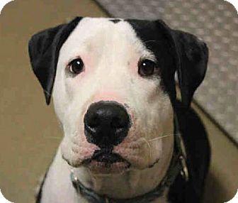 Bull Terrier/Pit Bull Terrier Mix Dog for adoption in Vista, California - Loki