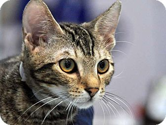 Domestic Shorthair Kitten for adoption in Pico Rivera, California - Munchkin