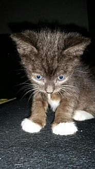 Domestic Shorthair Kitten for adoption in Los Angeles, California - Orion